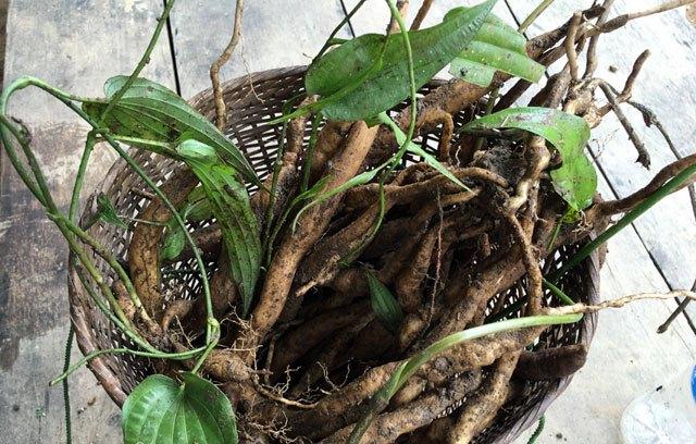 cây được đặt trong 1 chiếc địu của người đồng bào dân tộc sau khi đi thu hoạch dang sam rung về