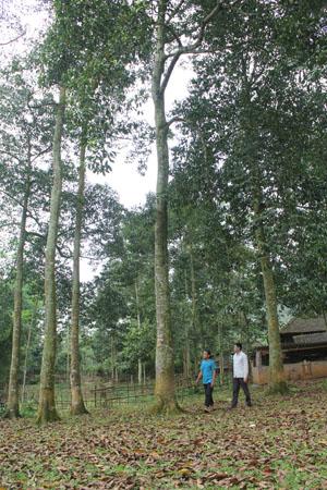 Cay doi được trồng rất nhiều ở Tây Bắc, ngoài ra còn mọc nhiều ở tự nhiên. Cay doi có loại lấy gỗ và có loại để lấy hạt