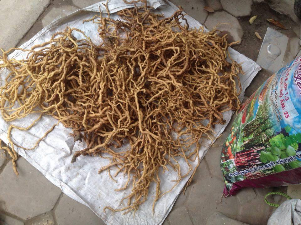 Toàn bộ sản phẩm phải thu mua trong vòng 1 tháng mới có được. Ba kich rung nhỏ hơn hàng trồng nhưng do soongss lâu năm trong rừng nên chất lượng rất tốt.