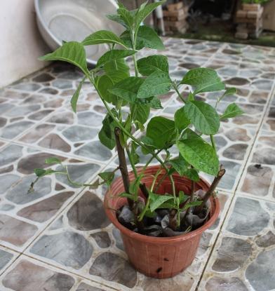 Hình ảnh cây mật gấu miền nam ở dạng giống cây trồng, thích hợp với những gia đình có nhu cầu, mong muốn trồng cây trong nhà để lấy lá uống nước lâu dài