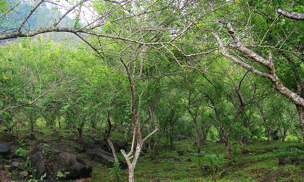 Đây là hình ảnh cây mơ rừng khi chưa ra hoa. Cây cao khoảng 2m, có là màu xanh lục