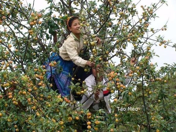 Hình ảnh cay tao meo với người phụ nữ dân tộc đang thu hoạch để bán