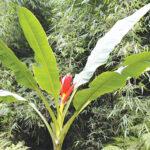 Hình ảnh cây chuối hột rừng trong thiên, phù hợp với miêu tả trong phần phía trên. Tác dụng của chuối hột rừng là dùng thân chữa bệnh tiểu đường