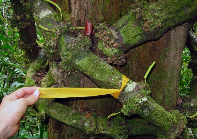 Hình ảnh dây gắm trên thân cây gắm được dùng làm thuốc