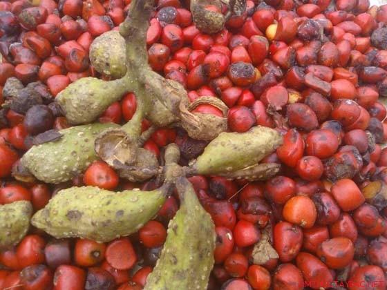 Hình ảnh hat doi rung khi chưa phơi khô có màu đỏ, tùy theo độ chín của hạt mà màu đỏ khác nhau
