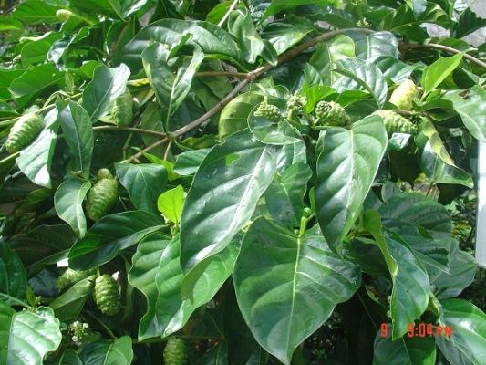 Cây nhàu không cao, có nhiều tán, lá màu xanh, có vân theo đúng mô ta, mọc nhiều quả