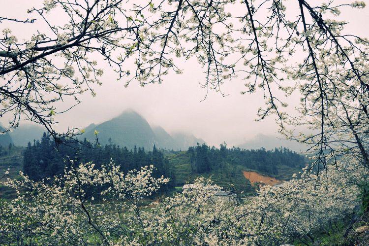 Tây Bắc là nơi trồng rất nhiều quả mơ. Vào mùa nở hoa của cây mơ, hoa trắng tạo nên cảnh tượng rất đẹp, một vùng trắng xóa giữa đại ngàn Tây Bắc. Điều này dần dần trở thành mùa du lịch tại các tỉnh Tây Bắc, đặc biệt là Mộc Châu, Sơn La. Thu hút rất nhiều khách du lịch đến với Tây Bắc