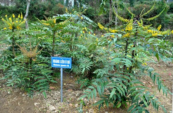 Hình ảnh cây hoàng liên ô rô trọng thực tế được trồng tại các cơ sở kinh doanh giống cây tròng