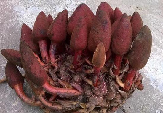 Hình ảnh cây nấm ngọc cẩu ddwucj đúng theo đoạn miêu tả mà chúng tôi đã cung cấp ở phía trên cho khách hàng