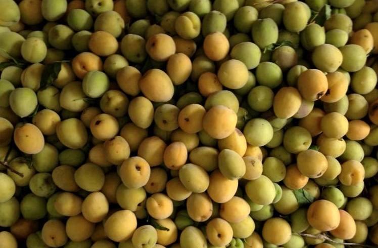 Cửa hàng Rừng Vàng với kinh nghiệm gần 10 năm kinh doanh các mặt hàng đặc sản Tây Bắc cam kết đến quý khách cung cấp 100% mơ rừng được trồng Tây Bắc, nói không với trái mơ trồng ở Trung Quốc, Quý khách mua hàng tại cửa hàng có thể yên tâm tuyệt đối về chất lượng cũng như giá cả sản phẩm