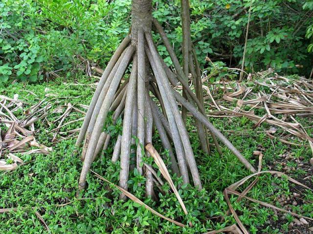 rễ cây có tác dụng chữa bệnh